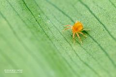 Spider mite (Tetranychidae) - DSC_4770 (nickybay) Tags: venusdrive singapore macro spider mite acari tetranychidae