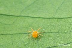 Spider mite (Tetranychidae) - DSC_4760 (nickybay) Tags: venusdrive singapore macro spider mite acari tetranychidae
