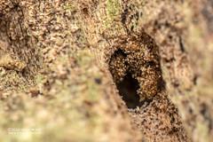 Assassin bug (Holoptilinae) - DSC_4921 (nickybay) Tags: venusdrive singapore macro assassin bug reduviidae holoptilinae