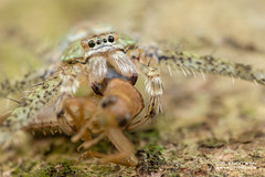 Huntsman spider (Pandercetes sp.) - DSC_4891 (nickybay) Tags: venusdrive singapore macro huntsman spider pandercetes prey sparassidae