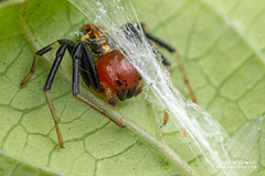 Crab spider (Camaricus maugei) - DSC_4831 (nickybay) Tags: venusdrive singapore macro camaricus maugei crab spider