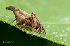 Orb weaver spider (Eriovixia sp.) - DSC_4880 (nickybay) Tags: venusdrive singapore macro araneidae eriovixia orb weaver spider
