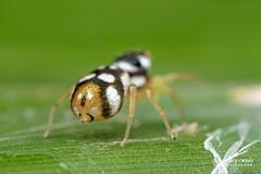 Jumping spider (cf. Phintella sp.) - DSC_4872 (nickybay) Tags: venusdrive singapore macro jumping spider salticidae phintella