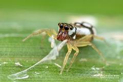 Jumping spider (cf. Phintella sp.) - DSC_4869 (nickybay) Tags: venusdrive singapore macro jumping spider salticidae phintella