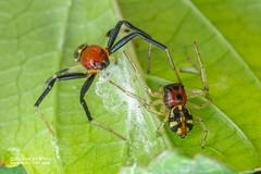 Crab spider (Camaricus maugei) - DSC_4830 (nickybay) Tags: venusdrive singapore macro camaricus maugei crab spider