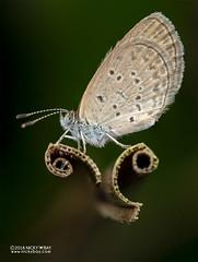 Pygmy grass blue (Zizula hylax pygmaea) - DSC_4775 (nickybay) Tags: venusdrive singapore macro pygmy grass blue zizula hylax pygmaea butterfly lepidoptera lycaenidae