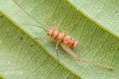 Cricket (Gryllidae) - DSC_5053 (nickybay) Tags: venusdrive singapore macro gryllidae cricket