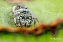 Jumping spider (Ptocasius sp.) - DSC_4979 (nickybay) Tags: venusdrive singapore macro ptocasius salticidae jumping spider