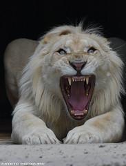 African white lion - Zoo Amneville (Mandenno photography) Tags: animal animals african lion lions leeuw leeuwen ngc nature natgeo natgeographic bigcat big cat cats france frankrijk zoo zooamneville amneville dierenpark dierentuin dieren