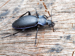 Carabus violaceous (mickmassie) Tags: carabidae carabus chipperfield coleoptera