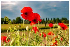 Une touche de rouge (Pascale_seg) Tags: paysage landscape countryscape country field campagne champs nature natura coquelicot papavero fleur flower fiore moselle lorraine grandest france nikon ciel sky cielo nuages clouds nuvole poppy poppies