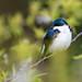 Tree Swallow, Tachycineta bicolor (Vieillot, 1808)