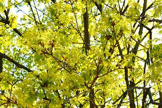 Spring. Maple.