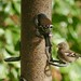 A Pair of Chaffinches (Fringilla coelebs)