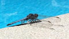 Sunbathing (Thierry GASSELIN) Tags: libellule dragonfly bleu blue water eau macro