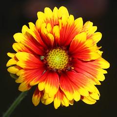 Gaillardia 'Kobold' (2) (HansHolt) Tags: gaillardia kobold blanketflower kokardebloem flower bloem red rood yellow geel macro square canoneos6d canonef100mmf28macrousm