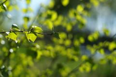 Spring bokeh (*Kicki*) Tags: green spring tree leaves johannesberg johannesbergsslott gottröra sweden roslagen birch 50mm bokeh
