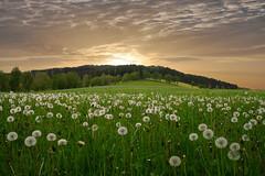Abendstimmung (Mariandl48) Tags: abendstimmung löwenzahn pusteblumen landschaft sommersgut wenigzell steiermark austria