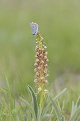 Spring essence (explore) (Rafael Díez) Tags: españa paisvasco laguardia naturaleza macro mariposa flor orquídea ahorcado rafaeldíez primavera