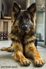 Sweet little Nora (Michelle Schreuder) Tags: nora oudduitseherder oldgermanshepherd dog hond braaf lief cute beauty beautiful mooi schattig huisdier dier animal pet dogs honden herder shepherd girl love liefde sweet harig portret hairy chien laperra oren snuit muzzle black zwart bruin brown contrast german duits michelleschreuder breda thenetherlands noordbrabant nikond7200
