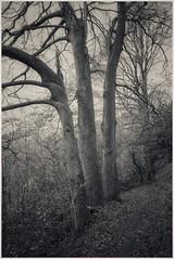 Three Trees, Long Woods : Cardiff. (garethdavies486) Tags: canon f1 fd 35mm2 ilford 100 delta kodak d23 diy film scanning development long woods cardiff