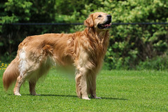 That Birdie Is Teasing Me (Diane Marshman) Tags: thedude the dude golden retriever large dog breed adult male goldenretriever brown white fur spring grass lawn looking pa pennsylvania nature outdoors