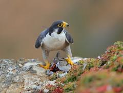 SleepyEye at their favorite dinning table (charlescpan) Tags: peregrine falcon prey