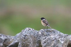 Stonechat (digiphill) Tags: 2019 cumbria geltsdale male may naturereserve northpennines rspb rspbreserve sigma150600mmsport spring stonechat saxicolarubicola