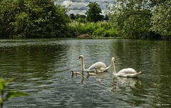 Swans on Thames (akatsoulis) Tags: thames river 50mm nikon nikkor oxfordshire sunnyday ukrivers nikonuk d5300 nikoneurope bensonoxford nature landscape exploring waterscape bensonlock beatyofwater