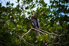 Cormorant (Strocchi) Tags: cuba laguna guanaroca flamingos reserve cienfuegos canon eos6d 75300mm birdwatching cormorano tele cormorants