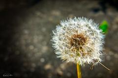 dandelion (kadofr) Tags: dandelion czech beskydy norden moravia pusteblume löwenzahn
