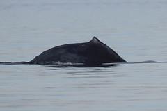 Humpback Whale (maritimeorca) Tags: animal chamberscreekproperties humpbackwhale mammal megapteranovaeangliae piercecounty pugetsound salishsea washington whale universityplace unitedstatesofamerica