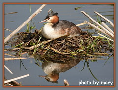 Great crested grebe (2) (maryimackins) Tags: great crested grebe nesting wildlife kent mary mackins