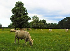 Cattle In Osterley Park - London. (Jim Linwood) Tags: osterleypark london england