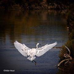 Aigrette garzette en phase d'atterrissage (didier95) Tags: aigrette aigrettegarzette boisplageenre iledere oiseau oiseaublanc blanc
