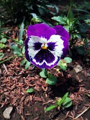 Pansies (Anna Gelashvili) Tags: pansies flower цветочки garden сад цветок flowers анютиныглазки soil почва ყვავილი ყვავილები leaf macro bright лист макрос яркий იასამნისფერიყვავილი