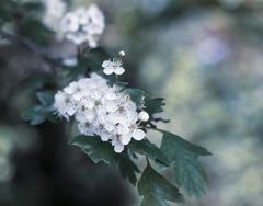 Flowers .. (Julie Greg) Tags: flower flowers colours canon nature nautre park garden soft spring spring2019