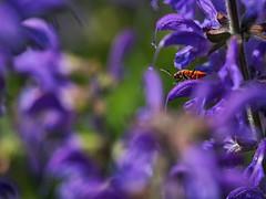 Versteckspiel (lebastian) Tags: panasonic dmcgx8 olympus m60mm f28 macro feuerkäfer insekt insect pflanzen bokeh colors farben makro makrofotografie