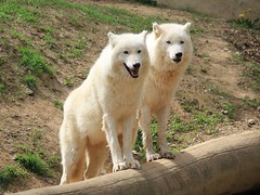 Loups arctiques (Canis lupus) au Parc zoologique de Saint-Martin-la-Plaine (France) (michele 69600) Tags: louparctique loup canislupus parczoologiquedesaintmartinlaplaine départementdelaloire france europe europ animal nature