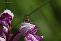 Panoramaweg Perl 2019 33 (60386pixel) Tags: traumschleifepanoramawegperl panoramawegperl saarhunsrücksteig traumschleife naturschutzgebiethammelsberg naturschutzgebiet natur frühling frühjahr frankreich orchidee orchis