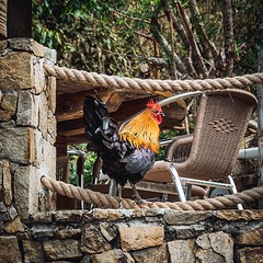 Feral Rooster - North Gorda Island, Caribbean (Lee Edwin Coursey) Tags: instagram ifttt travel caribbean windjammer 2019 islandwindjammers leeco leecoursey
