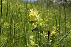 Panoramaweg Perl 2019 78 (60386pixel) Tags: traumschleifepanoramawegperl panoramawegperl traumschleife saarhunsrücksteig naturschutzgebiethammelsberg naturschutzgebiet natur frühling frühjahr frankreich orchidee orchis