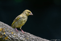 Greenfinch (juvenile). (Ciminus) Tags: naturesubjects aves ornitology nature ciminus nikond850 verdone ciminodelbufalo juvenile garden greenfinch uccelli verdonecomune oiseaux verdierdeurope wildlife ornitologia afsnikkor200500mmf56eedvr birds