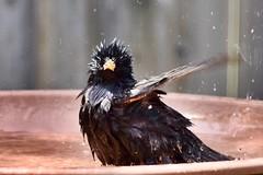 Grumpy Face (Linda Ramsey) Tags: starling may ontario nature black bird backyard