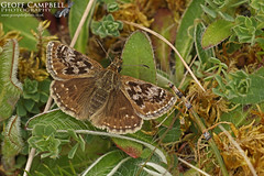 Dingy Skipper (Erynnis tages) (gcampbellphoto) Tags: dingy skipper erynnis tages butterfly insect nature wildlife ireland irish gcampbellphoto outdoor landscape field animal