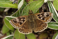 Dingy Skipper (Erynnis tages) (gcampbellphoto) Tags: dingy skipper erynnis tages butterfly insect nature wildlife ireland irish gcampbellphoto outdoor landscape field animal macro