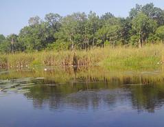 Basin Tadpoles-1 (Pnerissa) Tags: tadpoles nature kayaking freshwater water lily frogs underwater