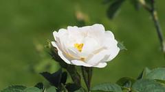White Rose (1elf12) Tags: rose blume blossom blüte flower goethe gärten bonn bundeskunsthalle germany deutschland