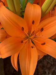 Tiger lily (Azca.B) Tags: iphotography iphonexr close upclose tigerlily flower flowers