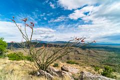 1905 Ocotillo (c.miles) Tags: coronadonationalforest macdougalridge occotillo santacatalinamountains